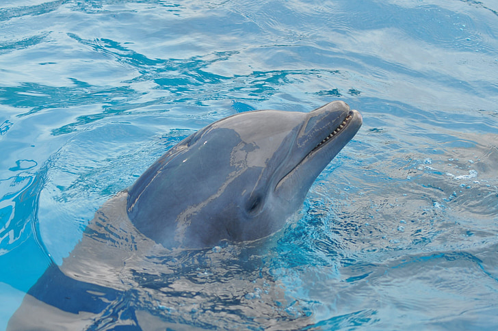 Dolphin, vatten, blå, pool, blått vatten, havet, djur