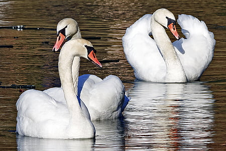Cigne, animal, natura, ocell, vida silvestre, Llac, l'aigua