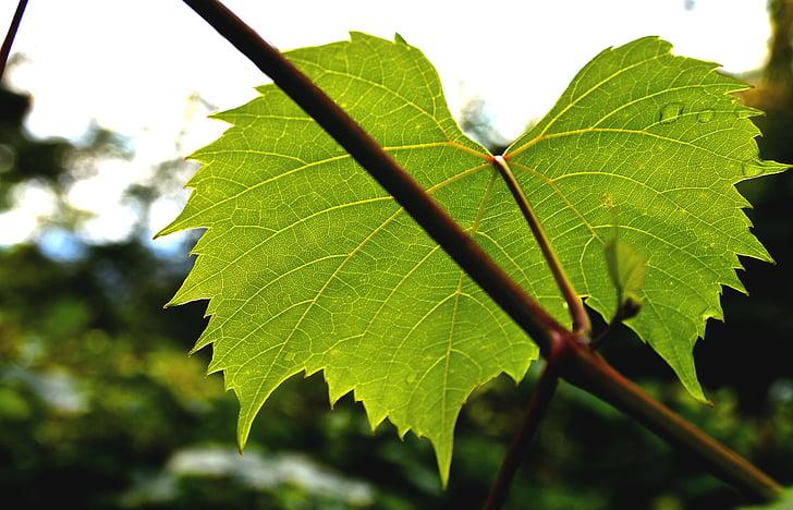 ücretsiz Fotoğraf şarap Ortağı Asma Yaprağı Sonbahar Yaprakları