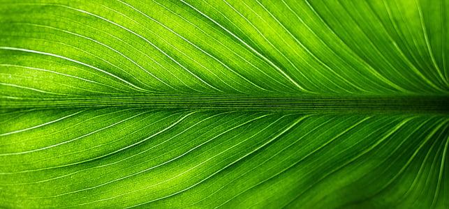 fulla, natura, verd, les fulles, hwalyeob, resum, plantes