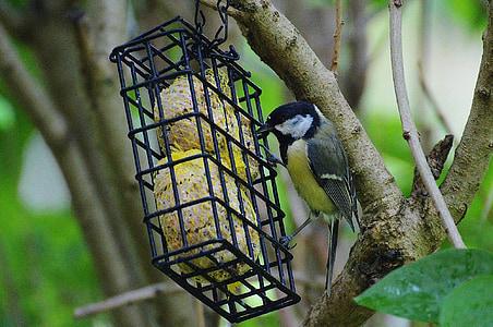 синигер, птица, лети, птица семе, природата, малки птици, животните