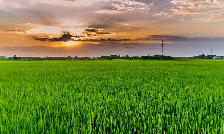silk, rice, the countryside, field, rice fields, green, sunset