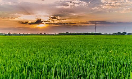 seda, arròs, el paisatge, camp, camps d'arròs, verd, posta de sol