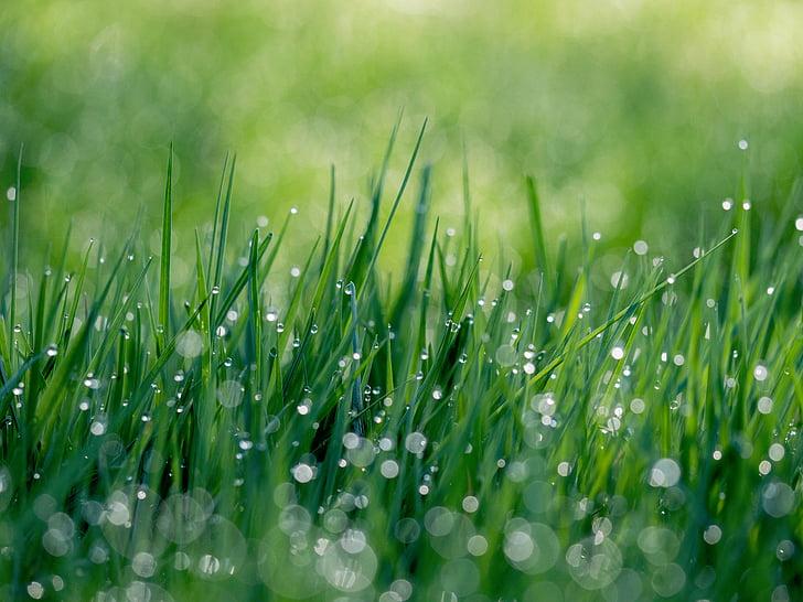 natur, græs, grøn, vand, dråber, dråber, dug