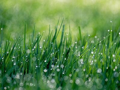 Natura, trawa, zielony, wody, krople, kropelki, rosy