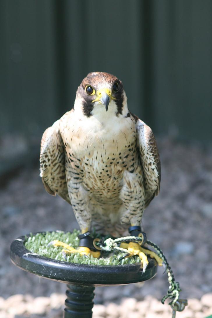 bird, prey, beak, falconer, hunter, wildlife, animal