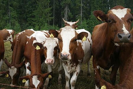 vaques, mosquits, cop d'ull