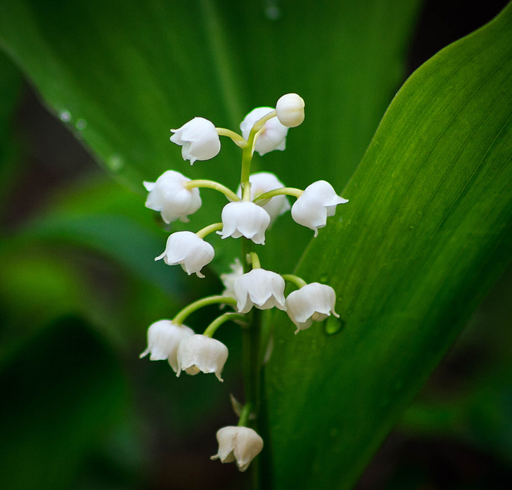 lily of the valley, flower, spring, nature, plant, leaf, close-up