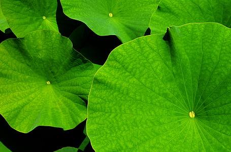 Phyllomedusa, Lotus, el Lotus leaf, jardí botànic, fulles, jardí, fulla
