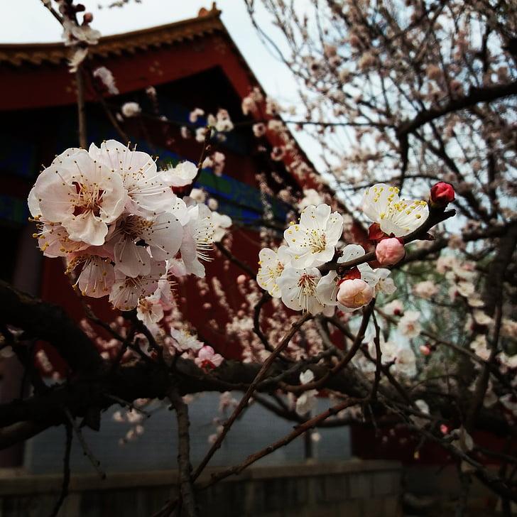 flor, flor de Prunera, primavera