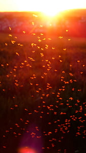 mosquito swarm, swarm, mosquitoes, fliegenschwarm, back light, insect, non-biting midges