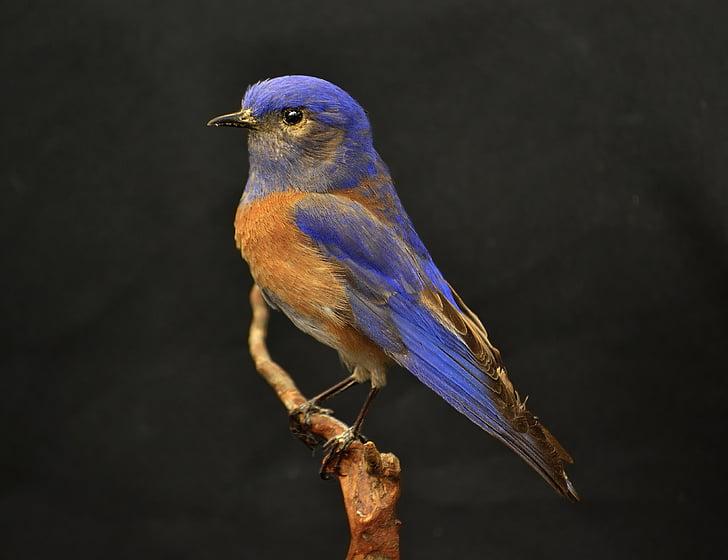 Zapadni, plava ptica, plava, ptica, smeđa, narančasta, kolac