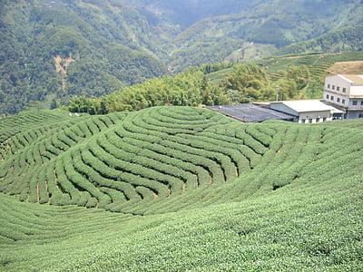 jardín de té, cultivo de té, t
