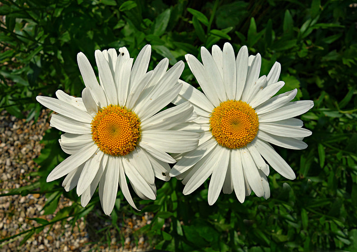 oxeye daisy, daisy, flower, blossom, blooming, plant, spring