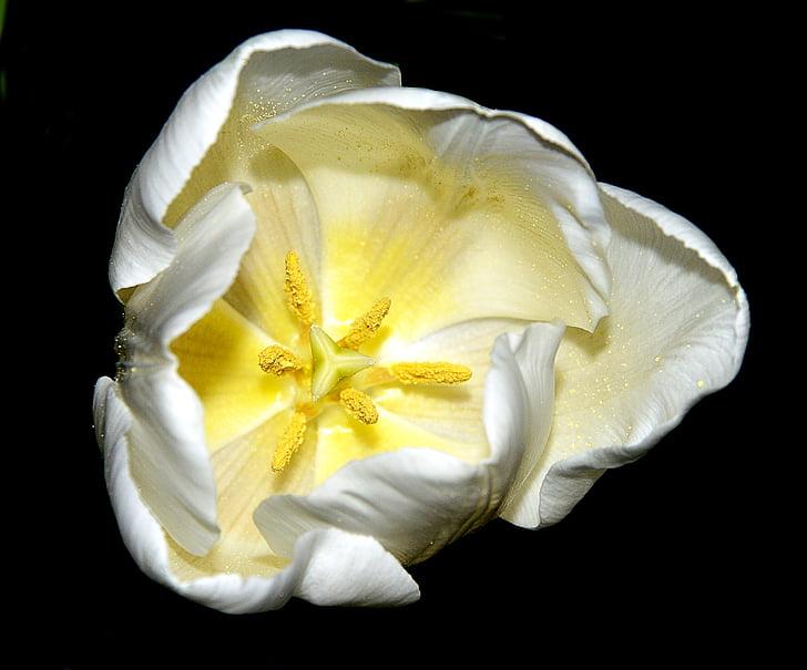 Tulipa, blanc, flor, flor, fons negre, groc, llimona