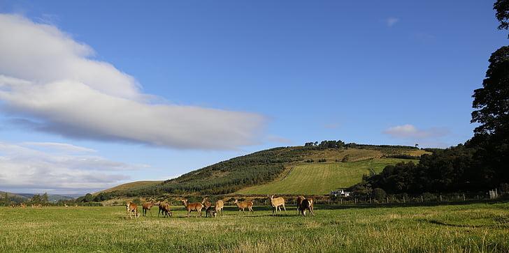 Hirsch, les pastures, Escòcia