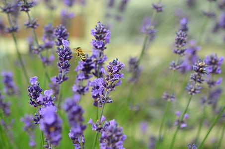 lavender, bee, true lavender, lavender flowers, flying bee, plant, insect