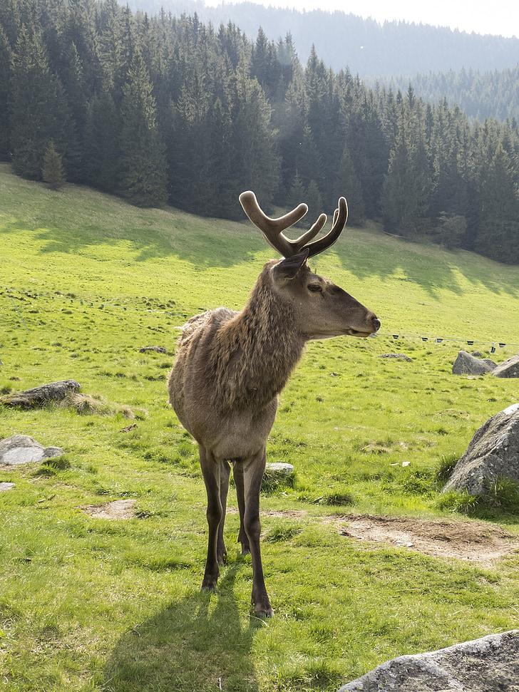 Moose, zviera, hory, Forest, Zobrazenie, strom, Zelená
