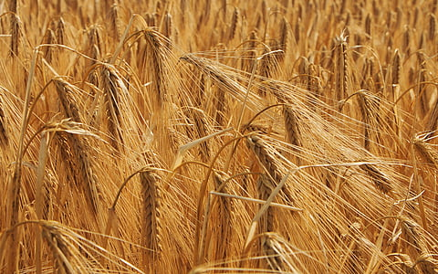 wheat, cornfield, field, agriculture, cereals, epi