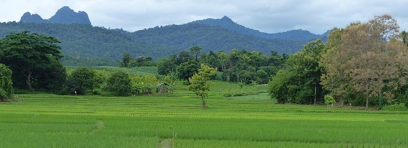 paisatge, arròs, Tailàndia