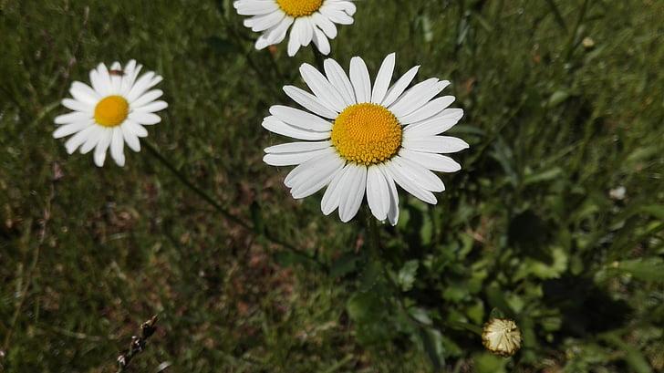 daisies, flower, daisy, spring, flowers