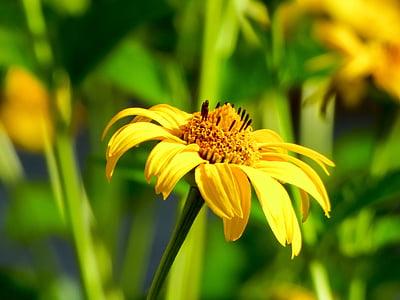 lill, suvel, kollane, kollane lill, Suvine lill, suvel taimed, loodus