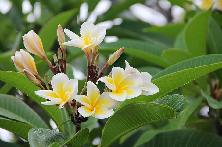 Живці квітів, червоного жасмину, цвітіння, цвітіння, квітка, Природа, літо