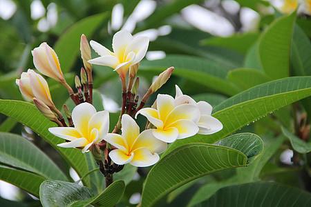 Plumeria, frangipani, Blossom, blomst, blomst, natur, Sommer