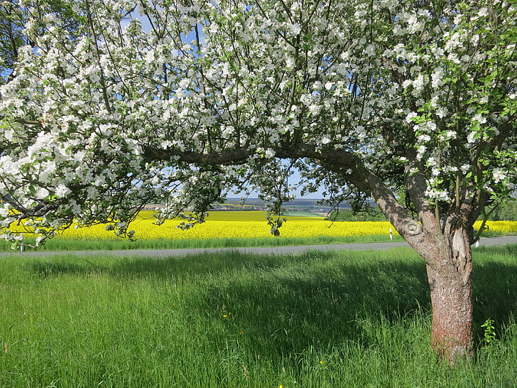 fruit tree blossoming, tree, spring, blossom, nature, fruit, apple tree blossom
