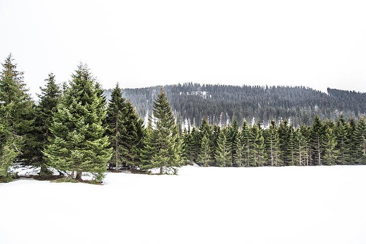 pine trees, winter, white, cold, tree, pine, pine tree
