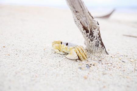 životinja, Rakovica, pijesak, Obala, životinje u divljini, jedna životinja, životinja životinje