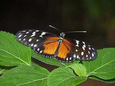 perhonen, eksoottinen, hyönteinen, Tropical, Butterfly house, eläinten, siipi