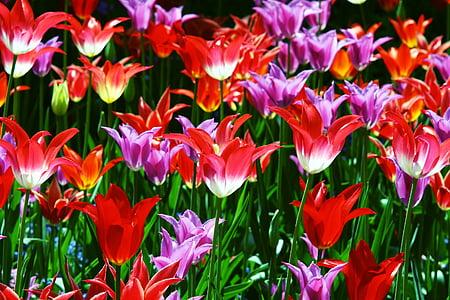 Triumph tulbid, tulbid, punane, kollane, muru, roheline, lilled