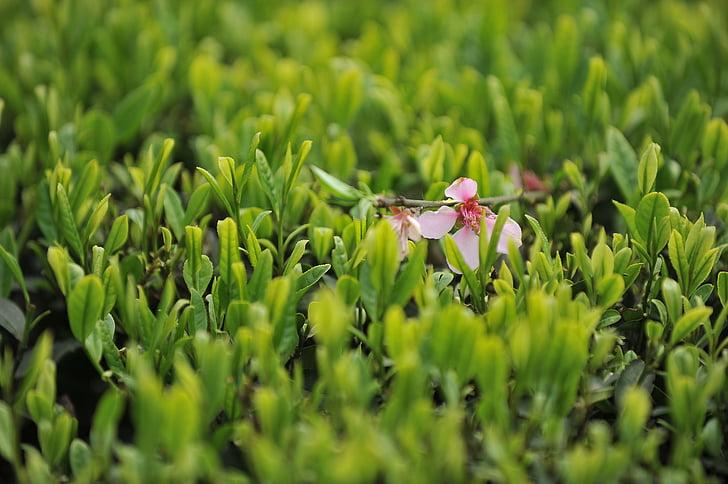 te jardí, te, te verd