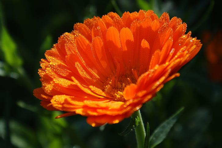 calendula, medicinal plant, nature, plant, summer, autumn, flower