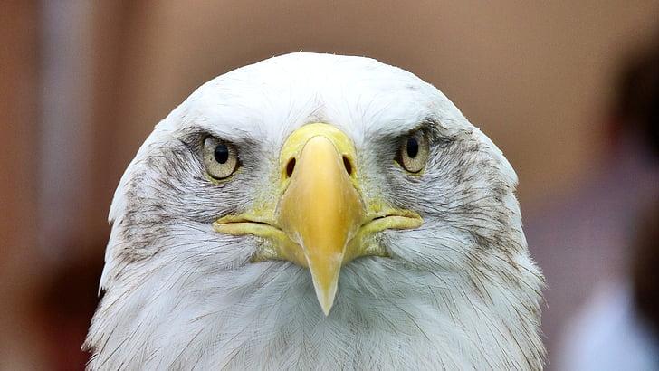 бяла опашка орел, Адлер, плешив орел, затвори, бил, раптор, Портрет