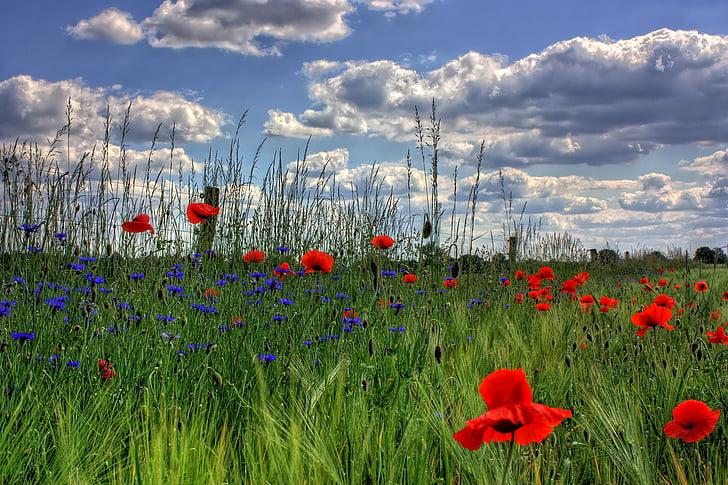 brandenburg, germany, nature, poppy, flower, field, meadow