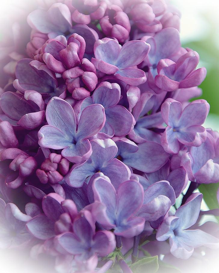 organų, gėlė, pavasarį, sodas, kvapas, Gamta, violetinė