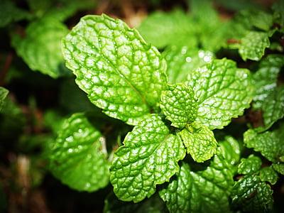 Mincovňa, Leaf, mentol, Herb, mäta pieporná, čerstvé, mäta pieporná