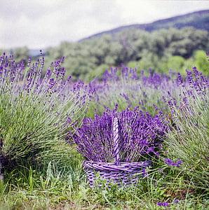levendula, kosár, természet, nyári, virág, természetes, illat