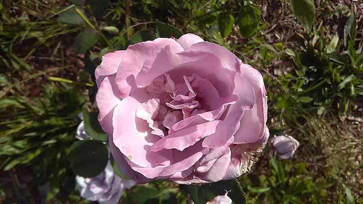 Hoa hồng, Hoa oải hương, Hoa, tự nhiên, hương liệu, màu hồng, Thiên nhiên
