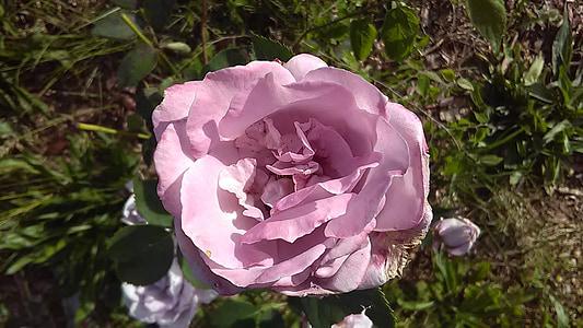 color de rosa, lavanda, flor, natural, aromaterapia, rosa, naturaleza