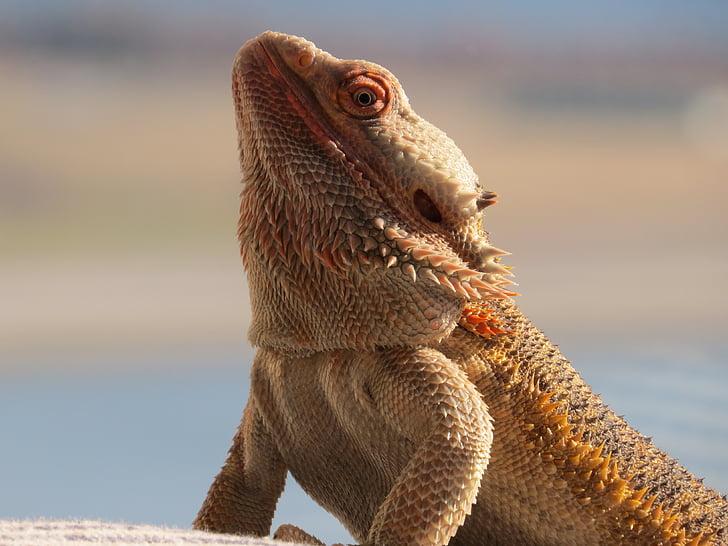bearded dragon, critter, majestic