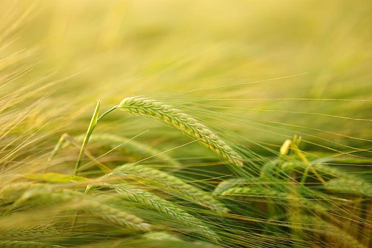 barley, getreideanbau, barley cultivation, cereals, field, spike, grain