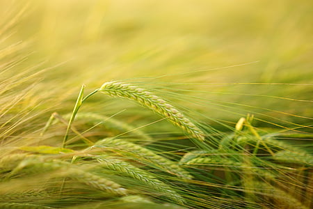 barley, getreideanbau, barley cultivation, cereals, field, spike, grain