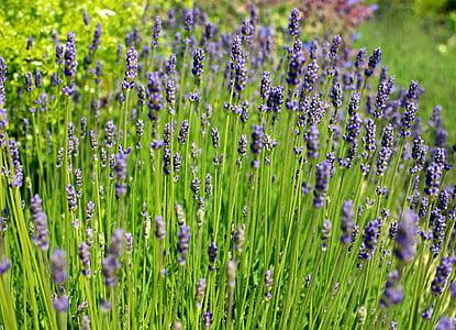 lavanda, flors d'espígol, porpra, violeta, inflorescència, cultiu, planta ornamental