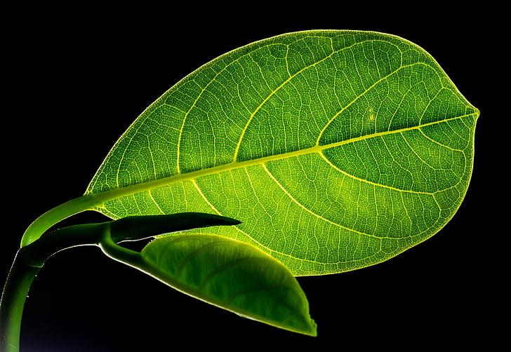 yaprak, yaprakları, Jack meyve yaprak, Yeşil, doğa, yeşil renk, bitki