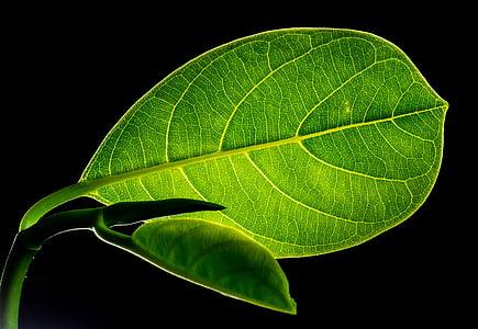 fulla, fulles, sota fulla de fruita, verd, natura, color verd, planta