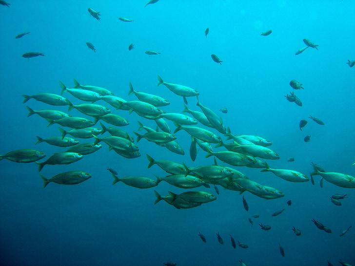 โรงเรียนของปลา, ปลา, ธรรมชาติ, น้ำ, ใต้น้ำ