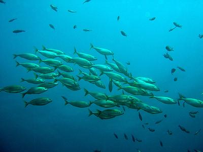 school of fish, fish, nature, water, under water